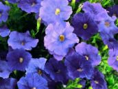 photo Garden Flowers Petunia blue