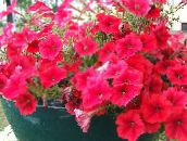 photo Garden Flowers Petunia red