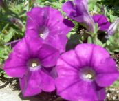 photo Garden Flowers Petunia purple