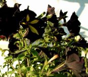 photo Garden Flowers Petunia black