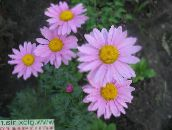lilac Painted Daisy, Golden Feather, Golden Feverfew