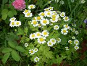 white Painted Daisy, Golden Feather, Golden Feverfew