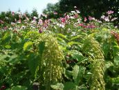 photo Garden Flowers Amaranthus, Love-Lies-Bleeding, Kiwicha, Amaranthus caudatus green