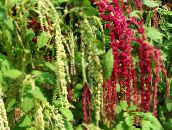 burgundy Amaranthus, Love-Lies-Bleeding, Kiwicha