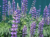 purple Streamside Lupin