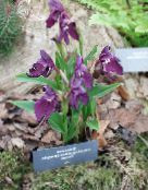 purple Roscoea