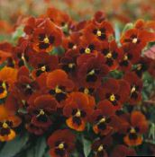 red Horned Pansy, Horned Violet