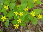 yellow Goldenstar, Green-and-gold