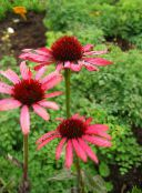 red Coneflower, Eastern Coneflower
