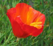 red California Poppy