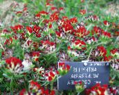 red Kidney Vetch, Lady's Fingers