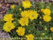 yellow Hardy Ice Plant