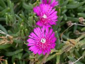 pink Hardy Ice Plant