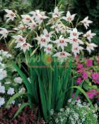white Abyssinian Gladiolus, Peacock Orchid, Fragrant Gladiolus, Sword Lily
