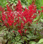 photo Garden Flowers Astilbe, False Goat's Beard, Fanal red