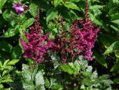 photo Garden Flowers Astilbe, False Goat's Beard, Fanal burgundy