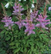 photo Garden Flowers Astilbe, False Goat's Beard, Fanal lilac