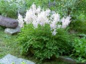 photo Garden Flowers Astilbe, False Goat's Beard, Fanal white