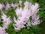 photo Garden Flowers Astilbe, False Goat's Beard, Fanal pink
