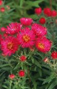 photo Garden Flowers New England aster, Aster novae-angliae red
