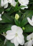 photo Garden Flowers Patience Plant, Balsam, Jewel Weed, Busy Lizzie, Impatiens white