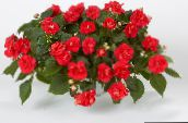 photo Garden Flowers Patience Plant, Balsam, Jewel Weed, Busy Lizzie, Impatiens red