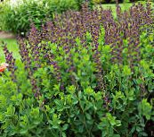 burgundy False indigo