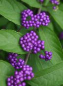 lilac Beauty berry