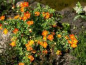 orange Fingerkraut, Shrubby Cinquefoil
