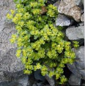 light green Golden saxifrage Leafy Ornamentals