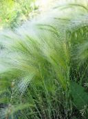 silvery Foxtail barley, Squirrel-Tail Cereals