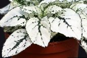white Polka dot plant, Freckle Face Leafy Ornamentals
