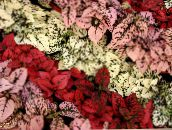 red Polka dot plant, Freckle Face Leafy Ornamentals