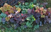multicolor Heuchera, Coral flower, Coral Bells, Alumroot Leafy Ornamentals