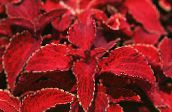 red Coleus, Flame Nettle, Painted Nettle Leafy Ornamentals