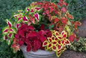 multicolor Coleus, Flame Nettle, Painted Nettle Leafy Ornamentals