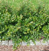 green Hedge Cotoneaster, European Cotoneaster