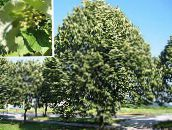 green Common Lime, Linden Tree, Basswood, Lime Blossom, Silver Linden