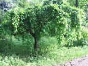 green Mulberry