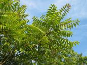 green Tree of Heaven, Chinese Sumac, Stink Tree