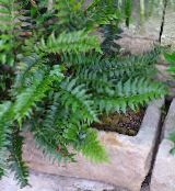 dark green Holly fern Herbaceous Plant