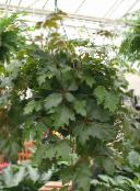 dark green Grape Ivy, Oak Leaf Ivy Hanging Plant