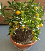 dark green Calamondin Tree
