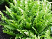 light green Phyllitis Herbaceous Plant
