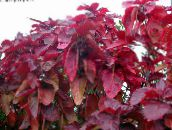 red Fire Dragon Acalypha, Hoja de Cobre, Copper Leaf Shrub