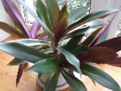 purple Rhoeo Tradescantia Herbaceous Plant