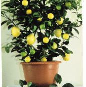 dark green Lemon Tree