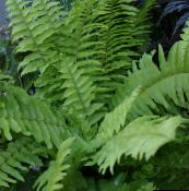 green Sword Ferns Hanging Plant