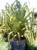 green Screw Pine Herbaceous Plant