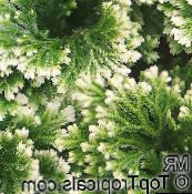 motley Selaginella Herbaceous Plant